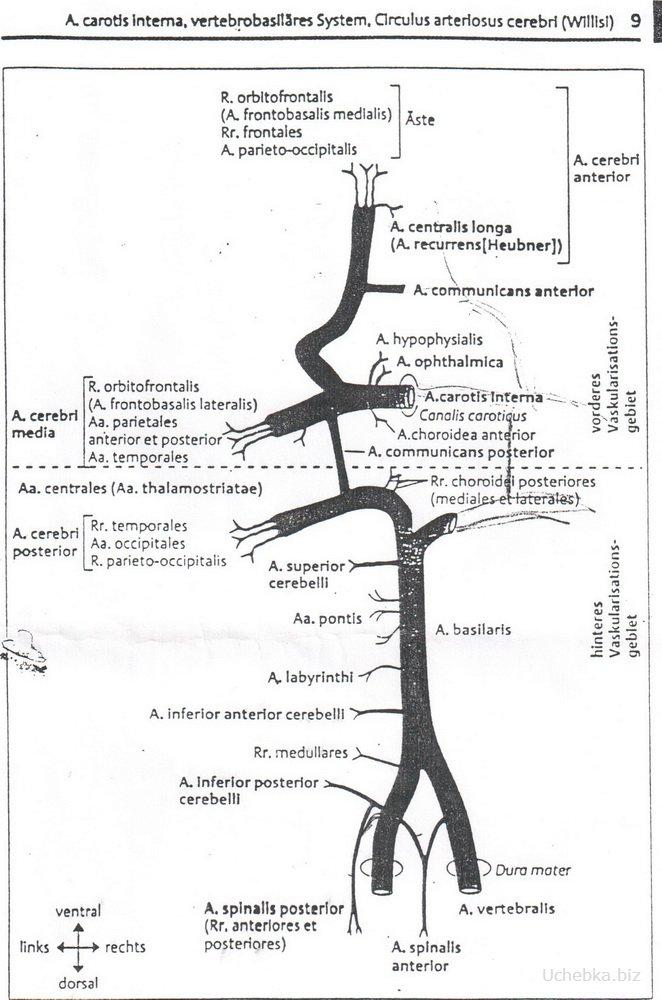 Рисунки и схемы по анатомии
